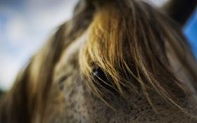 Обои глаз, лошадь, грива