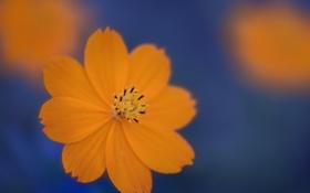 Картинка фон, лепестки, космея, цветок, лето