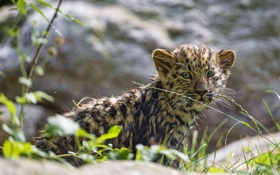 Обои кошка, трава, леопард, детёныш, котёнок, амурский, ©Tambako The Jaguar