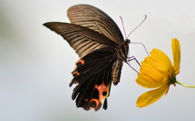 Обои цветок, крылья, насекомое, бабочка