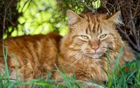 Картинка кот, трава, ©Tambako The Jaguar, взгляд, кошка