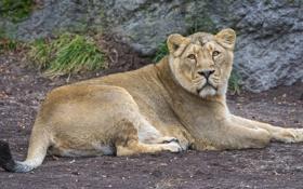 Обои кошка, отдых, львица, ©Tambako The Jaguar