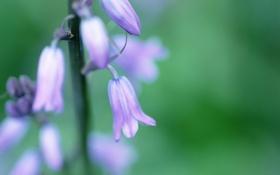 Картинка весна, колокольчики, растение, зелень, цветок, green, spring