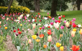 Картинка цветы, лепестки, тюльпаны, много, разные