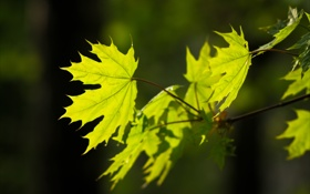 Обои контраст, зеленый, лист, клен