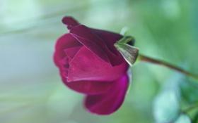Картинка цветок, макро, роза, бутон, красная