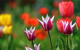 Обои растения, весна, тюльпаны