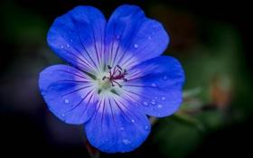 Обои капли, цветок, вода, лепестки, роса
