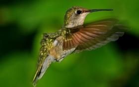 Картинка фон, птица, размытость, колибри
