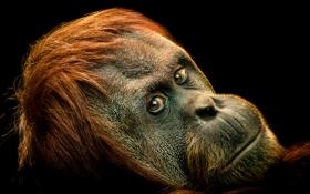 Картинка look, ape, primate