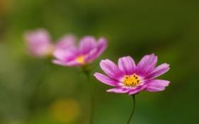 Обои космея, розовые, фон, зеленый, размытость, цветы
