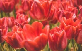 Обои красные, тюльпаны, лепестки, цветы