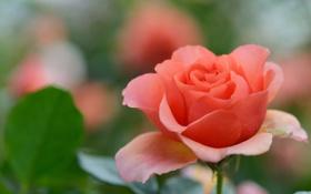 Обои роза, алая, осенняя