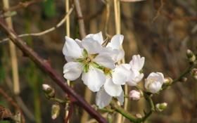 Обои цветок, макро, весна, цветение