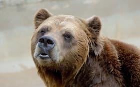 Картинка гризли, мишка, медведь, портрет