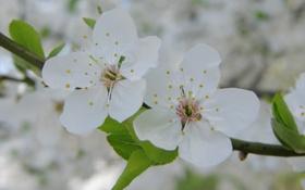 Картинка макро, вишня, ветка, весна, лепестки, белые, цветки