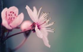 Картинка макро, цветы, нежность, растение, лепестки, розовые