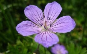 Обои лето, сиреневый, на отдыхе, горный цветок