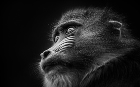 Обои портрет, примат, сфинкс, Мандрил, мартышка