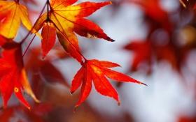 Картинка листья, осень, природа, клен