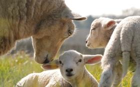 Обои трава, овечки, детеныши, овца