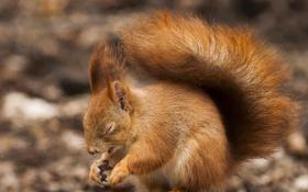 Картинка белка, боке, Sleepy squirrel
