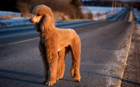 Картинка дорога, свет, собака, пудель