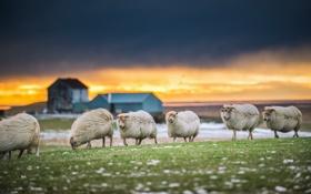 Обои природа, закат, овцы