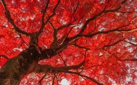 Картинка листья, парк, дерево, Китай, красные