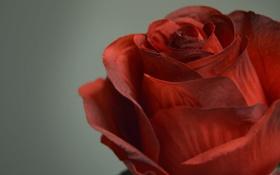 Картинка роза, цветок, красная