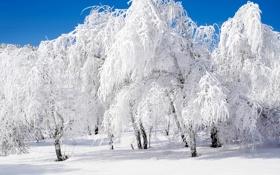 Обои лес, роща, небо, иней, зима, береза, снег