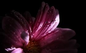 Обои цветок, розовые, тень, капельки, свет, лепестки, beautiful flower