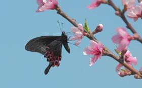 Картинка небо, цветы, вишня, бабочка, ветка, весна, цветение