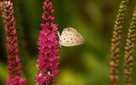 Обои природа, бабочка, полевые, розовые, цветы