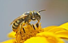 Обои цветок, макро, пчела, пыльца