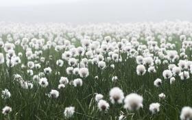 Картинка поляна, белые, пушистые, туман, лук, цвеки