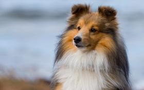 Картинка лето, взгляд, фон, собака