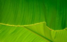 Обои зелень, листья, прожилки