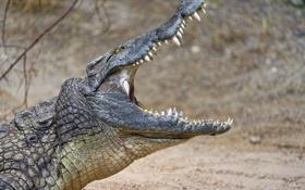 Картинка крокодил, пасть, профиль, ©Tambako The Jaguar
