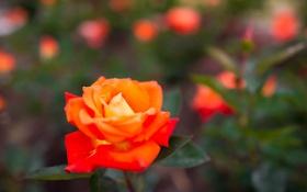 Обои роза, листья, лепестки, макро, бутон