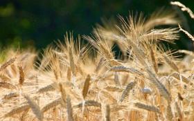 Обои wheat, grains, Brown, planting