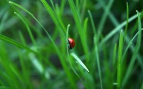 Обои зелень, трава, насекомые, природа, божья коровка, красота, весна