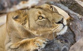 Картинка кошка, взгляд, морда, дерево, львица, ©Tambako The Jaguar