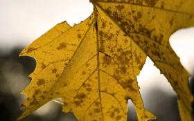 Обои осень, лист, макро, клен