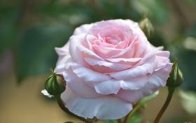 Картинка макро, розовый, нежность, роза, бутоны