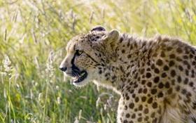 Картинка кошка, гепард, профиль, ©Tambako The Jaguar