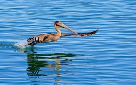 Обои птица, крылья, взлёт, розмах, разрешён