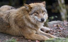 Картинка взгляд, волк, хищник, ©Tambako The Jaguar