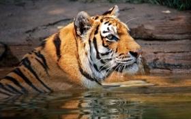 Картинка морда, тигр, хищник, купание, дикая кошка, водоем