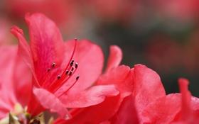 Картинка цветы, фокус, розовые, азалия